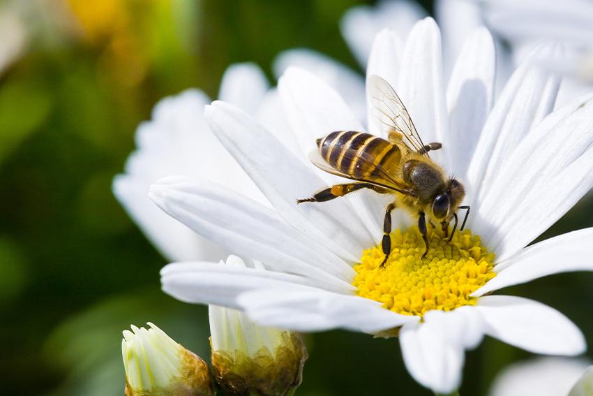 Ape impollina un fiore - giornata mondiale delle api